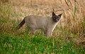 Surprised Siamese cat in suburb nature.jpg
