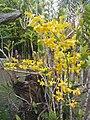 Suvarnabhumi Orchids Farm IMG 20160322 080524 (26837625504).jpg
