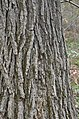Swamp White Oak Quercus bicolor Bark Vertical 1.JPG