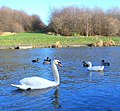 Swan and ducks on The Pool - geograph.org.uk - 1060757.jpg
