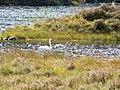 Swan family, Glen Strathfarrar. - geograph.org.uk - 1520329.jpg