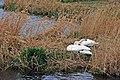 Swans, Kernan Lake near Gilford - geograph.org.uk - 372800.jpg