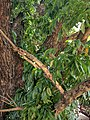 Swietenia macrophylla 112.jpg