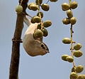 Sykes's Warbler (Hippolais rama) on Lannea coromandelica fruits W IMG 7801.jpg