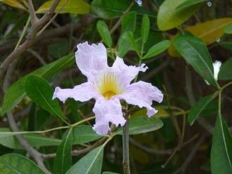 Tabebuia - Flower of Pink Poui (Tabebuia rosea)