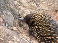Tachyglossus aculeatus (5369759416).jpg