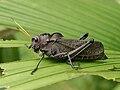 Taeniopoda reticulata.jpg