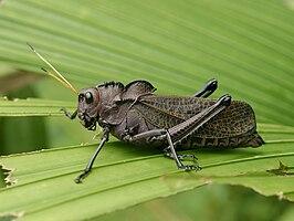 Rechtvleugeligen wikipedia taeniopoda reticulata is een tropische kortsprietige uit costa rica de sprinkhaan is zwart van kleur altavistaventures Image collections