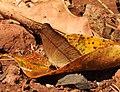 Tamil Yeoman Cirrochroa thais by Dr. Raju Kasambe DSCN4841 (13).jpg
