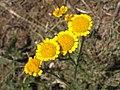 Tanacetum millefolium 1.jpg