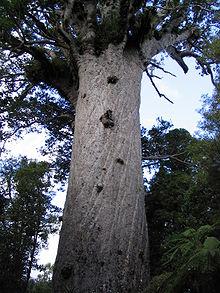 tronc du kauri arbre