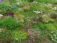 Image Result For Daisy Garden Clover