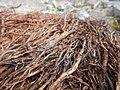 Tapis de racines de platane sous trottoir Platanus root mat under sidewalk Lille northern France 05.jpg