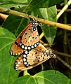 Tawny Coster Acraea terpsicore mating by Dr. Raju Kasambe DSCN0423 (2).jpg