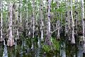 Taxodium ascendens Big Cypress National Preserve 1.jpg