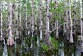 Taxodium ascendens Big Cypress National Preserve 1.jpg
