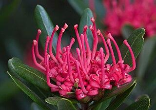 <i>Telopea truncata</i> A shrub in the family Proteaceae endemic to Tasmania