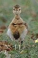 Temminck's courser, Cursorius temminckii, at Mapungubwe National Park, Limpopo Province, South Africa (46138154524).jpg