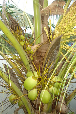 A view of coconut tree having tender coconuts ...