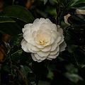 Tere schoonheid van de Camellia × williamsii 'Jury's Yellow' bloem. Locatie, Tuinreservaat Jonker vallei 05.jpg