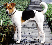 Terrier mix sh klaas.jpg