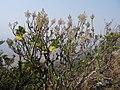 Tetradenia riparia 2 - Ribaue (9798736346).jpg