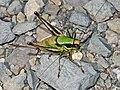 Tettigoniidae - Eupholidoptera chabrieri.JPG