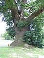 The Baginton oak - geograph.org.uk - 481813.jpg