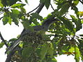 The Grey Indian hornbill.jpg