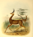 The book of antelopes (1894) Ammadorcas clarkii.png