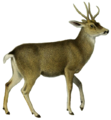 The deer of all lands (1898) Peruvian guemal white background.png