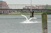 The migthy wings of the swan when landing at Rietplas Houten - panoramio.jpg
