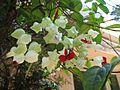 Thekkady, Bleeding heart, Abrahams Spice Garden (2267499656).jpg