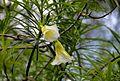 Thevetia Peruviana (Lucky Nut) (28893901165).jpg