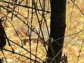 Thorn tree2.jpg