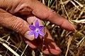 Thread-leaved brodiaea in San Diego County, CA (34286729956).jpg
