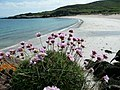 Thrift growing above beach at Samhnan Insir - geograph.org.uk - 997316.jpg