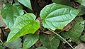 Thunbergia grandiflora 04.JPG