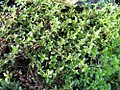 Thymus precox Coccineus 0zz.jpg
