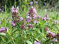 Thymus pulegioides subsp. pulegioides sl2.jpg