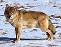 Tibetan Wolf Canis lupus chanko cropped.jpg