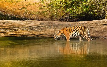 Tiger quenching its thrist.jpg