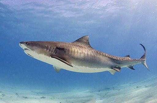 Tiger shark(2)