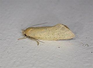 <i>Tingena</i> genus of insects