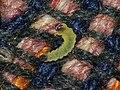 Tischeria ekebladella (larva) - Одноцветная моль дубовая (гусеница) (27383154858).jpg