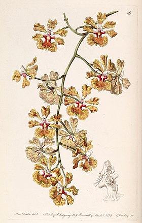 Tolumnia guttata (as Oncidium luridum var. guttatum) - Edwards vol 25 (NS 2) pl 16 (1839).jpg