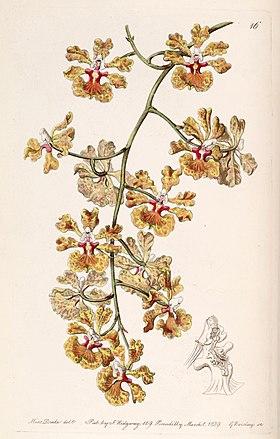 Tolumnia guttata (as Oncidium luridum var. guttatum) - Edwards vol 25 (NS 2) pl 16 (1839).jpg