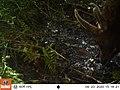 Tomales Point Water Sources- Wildlife Monitoring Camera- Tule Elk - September 23, 2020, 3-18 pm (ae070438-661f-4906-bc7c-7066fba500c1).jpg