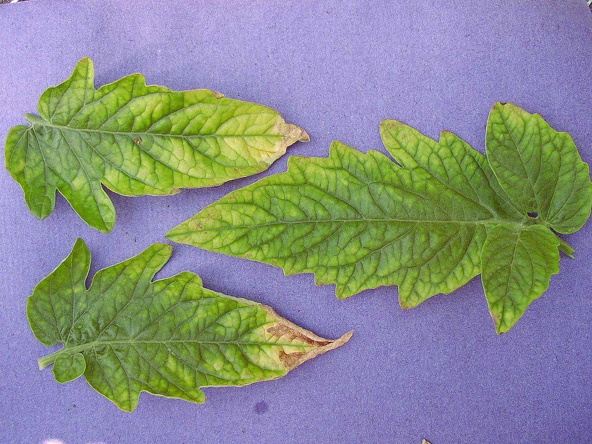 borjúparaziták condyloma acuminata szállítás