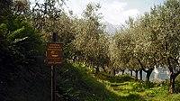 Torbole, monte Brione, ulivi.jpg